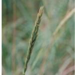 Дикие зерновые на берегу Белого Моря